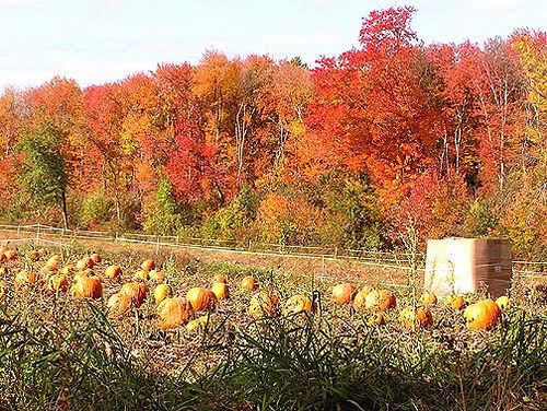 Finding the perfect pumpkin in a colorful patch. Photo Via Flicker under the Creative Common License. https://www.flickr.com/photos/calliope/819130