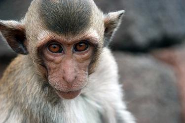 Photo used via WikiMedia under the Creative Commons License https://en.wikipedia.org/wiki/Monkey