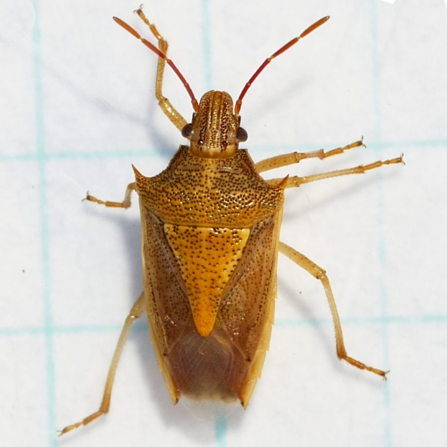 Rice Stink Bug. Labeled for reuse under Wikimedia Creative Commons.