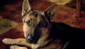 Hurclules the German Sheppard. Photo via wikicommons under the creative commons licence. https://commons.wikimedia.org/wiki/File:German_Shepherd_Dog.jpg