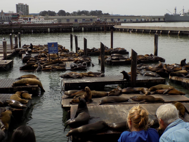 Sea lions at the San Francisco Bay.