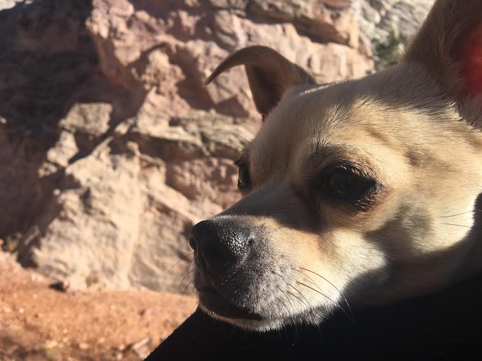 Chihuahua-Pug Mix Jack at Garden of the Gods.