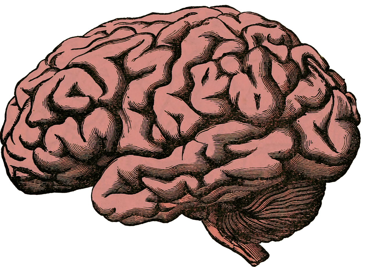 The brain can develop disorders as coping mechanisms to trauma. (Brain Anatomy Human Pixabay, labeled for reuse).