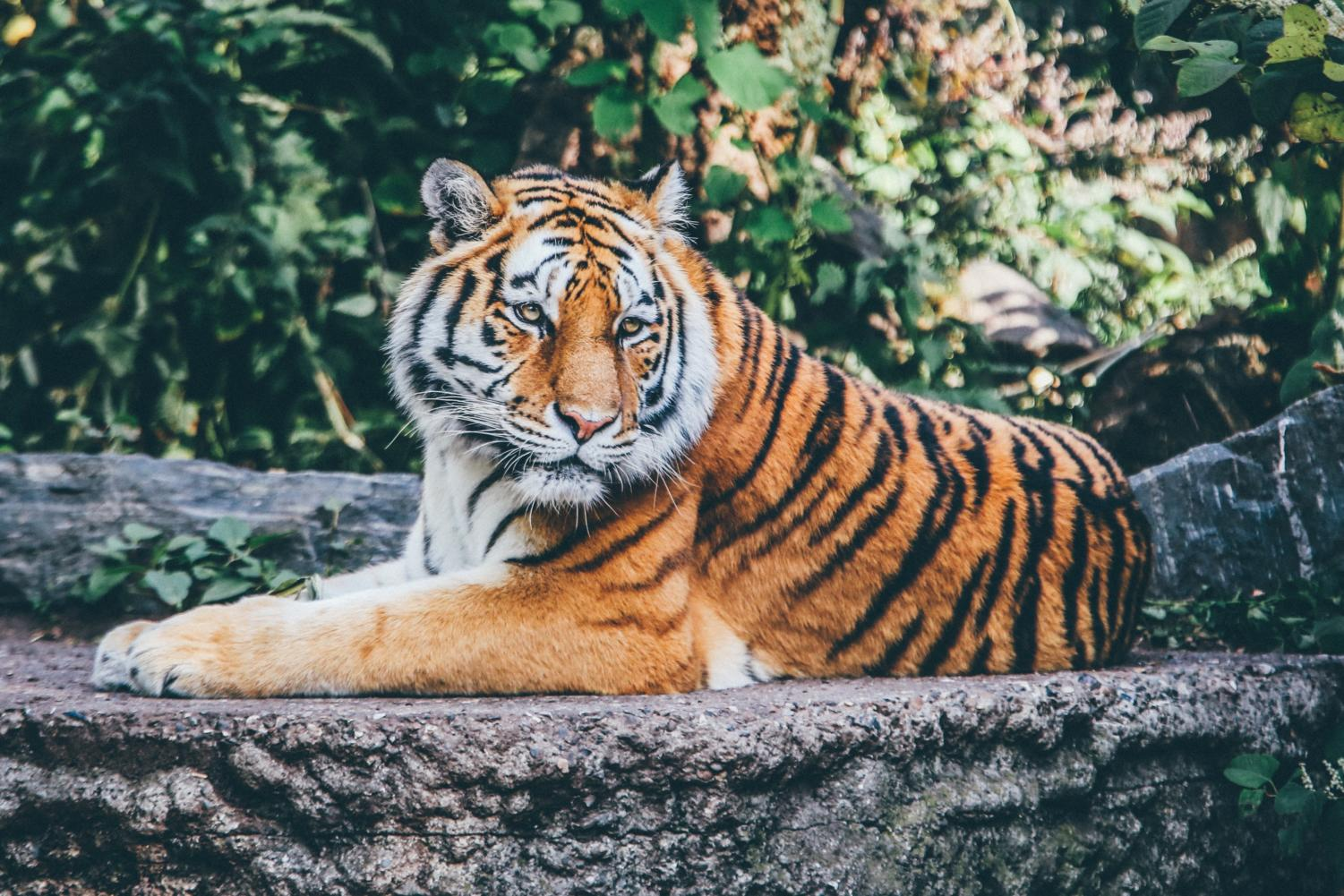 Also known as the Panthera tigris tigris, the Bengal Tiger is endangered with only about 2,500 tigers remaining. Labeled for reuse by Unsplash