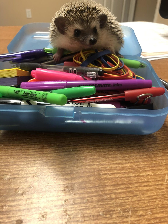 Journalism class hedgehog Benny helps with Lizzy Dalton's homework.