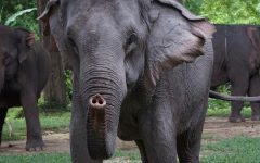 Many elephants live at the Ethical Elephant Sanctuary in Chaing Mai, Thailand.