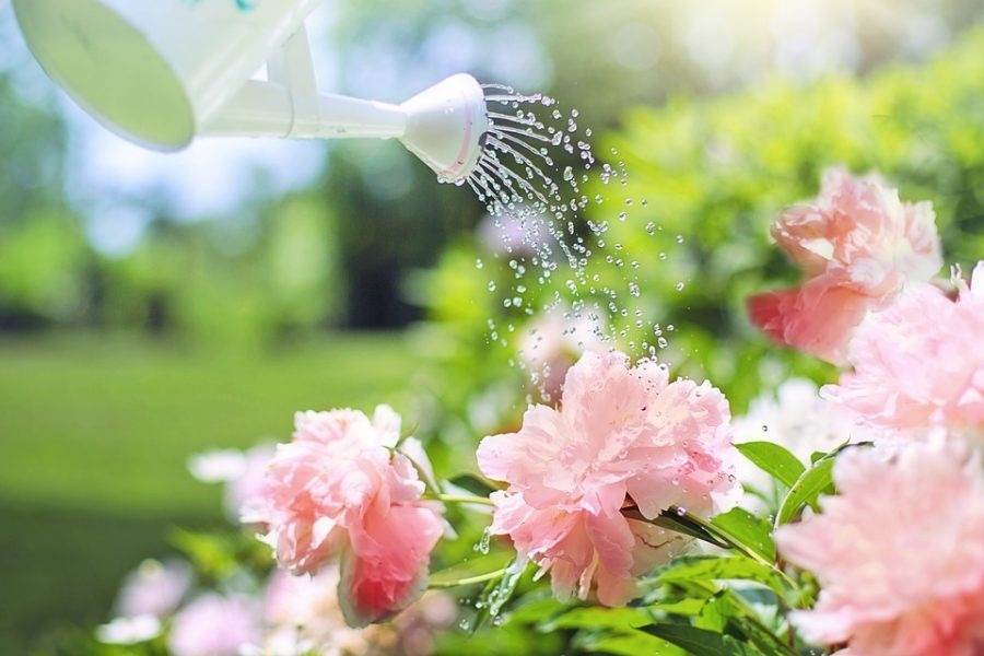 A white watering can sprinkles water on vibrant pink flowers. Labeled for Reuse by Creative Commons.